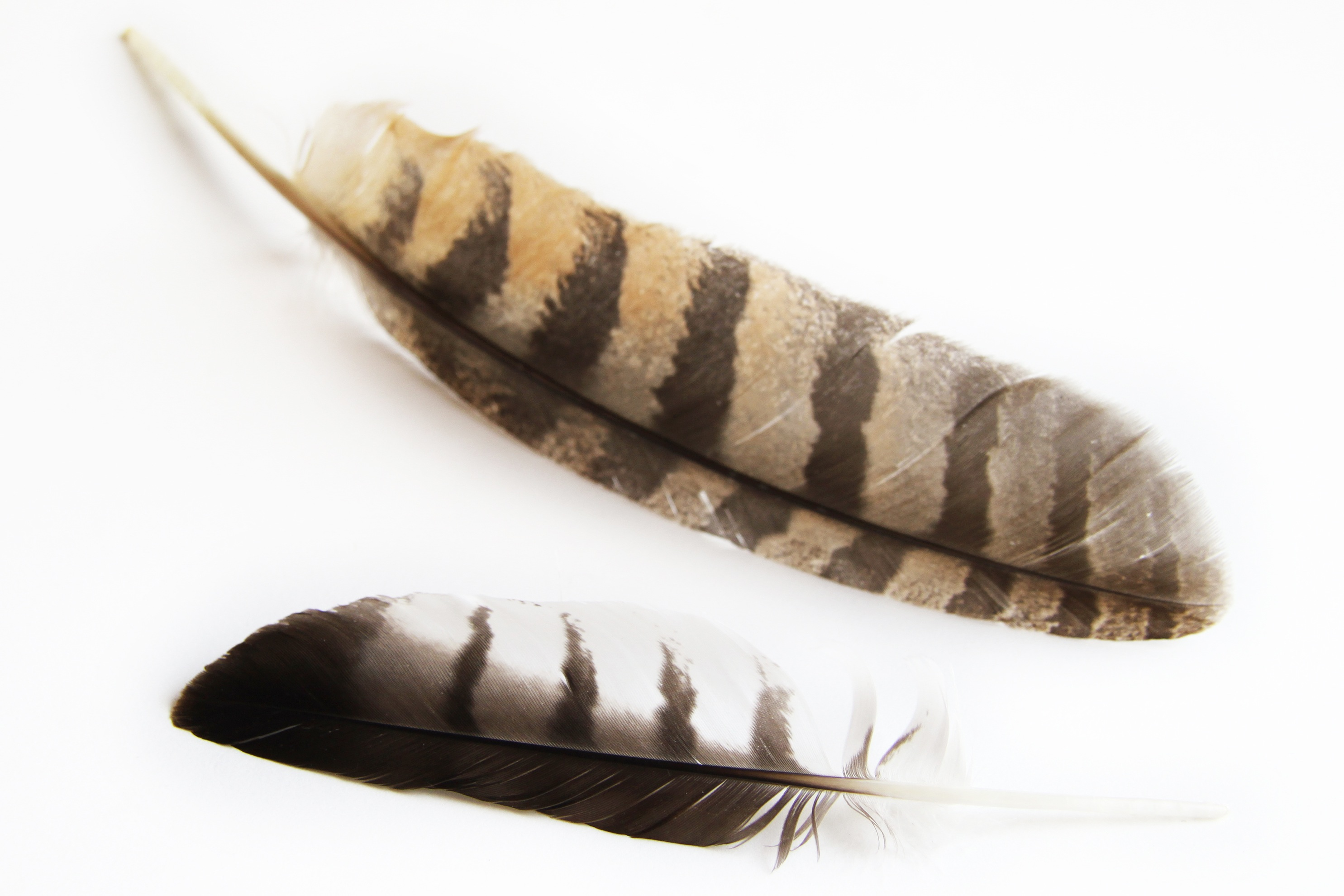 barred owl feathers