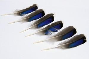 mallard wing feathers