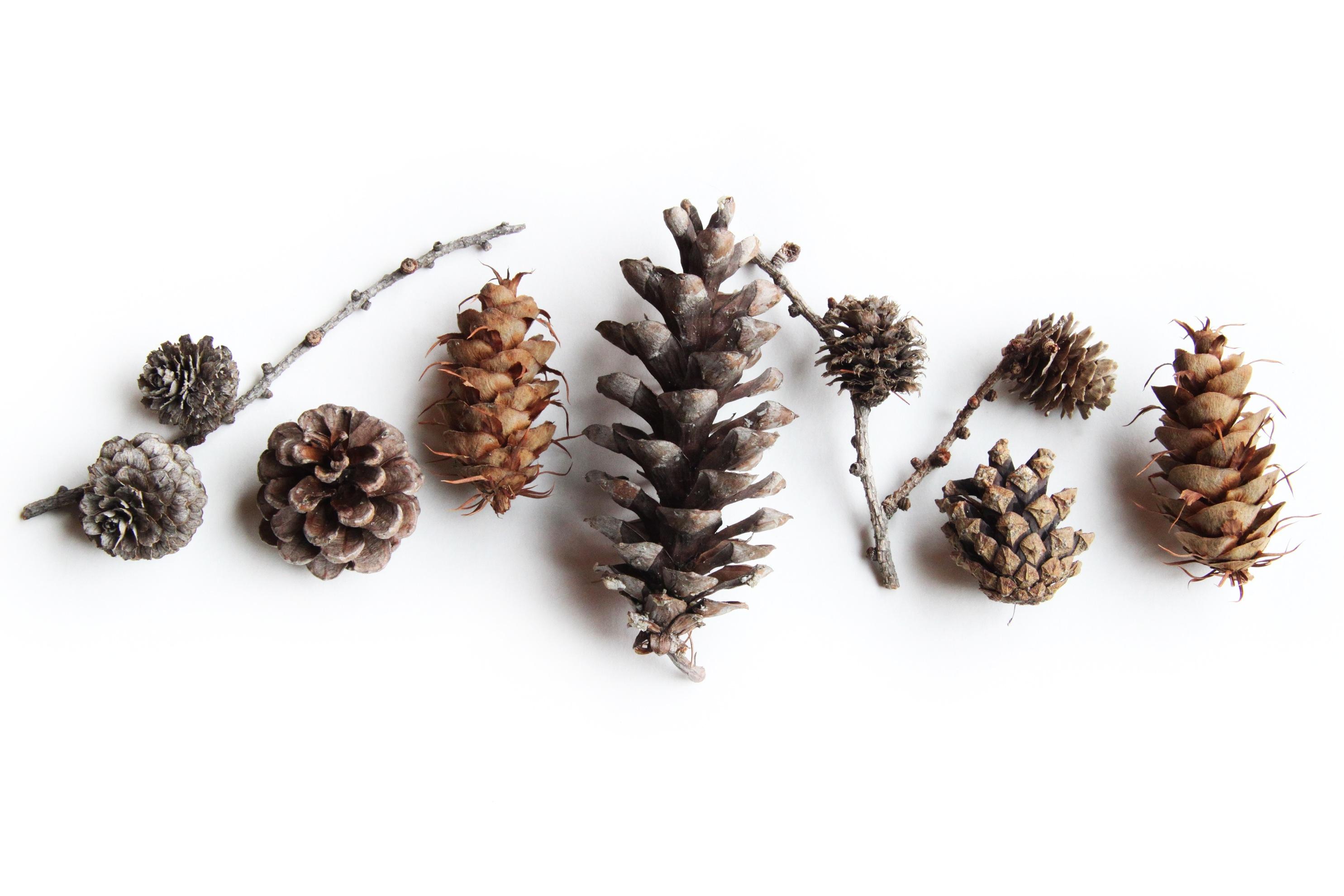 boreal pine cones