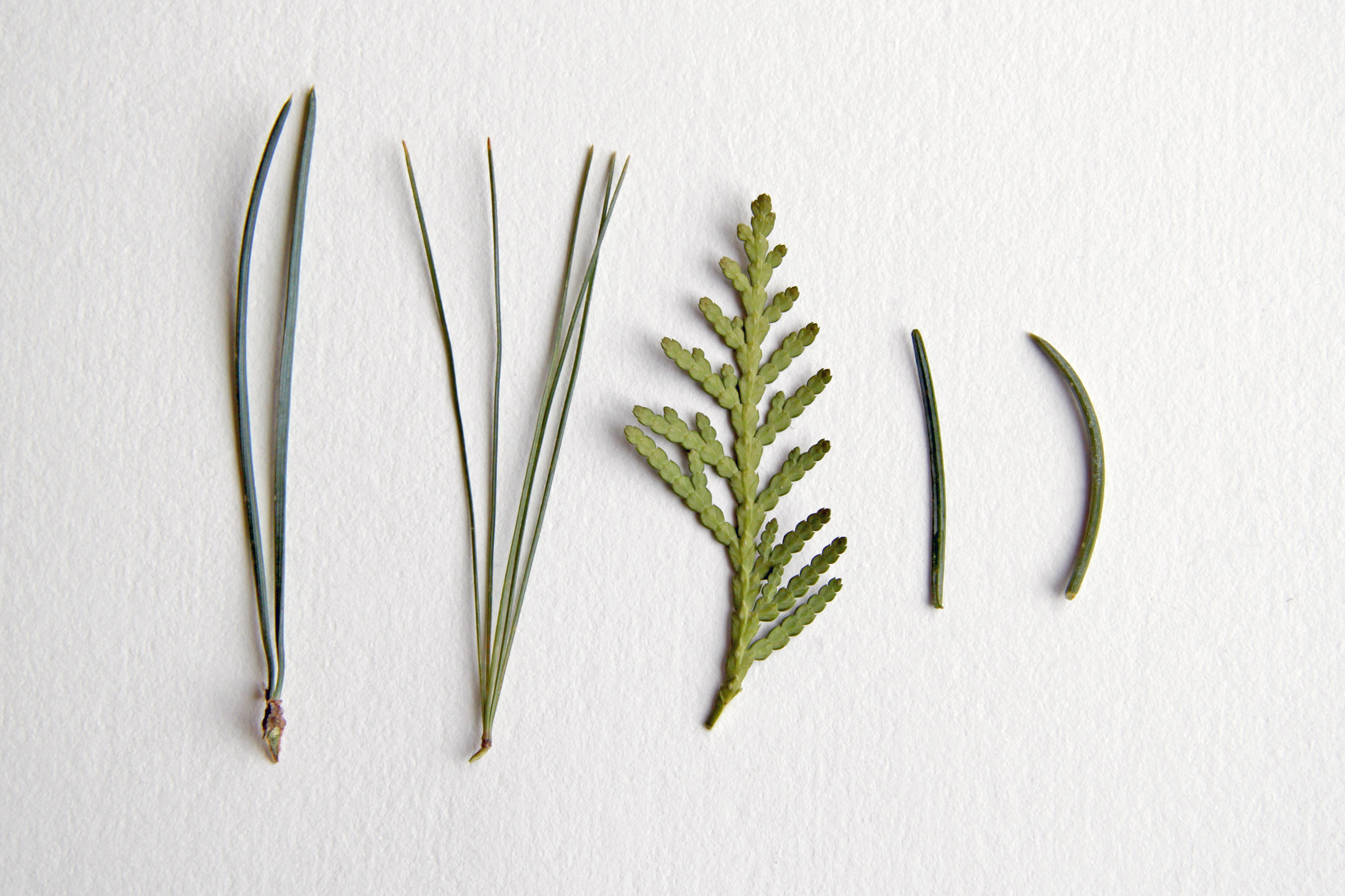 conifer needles