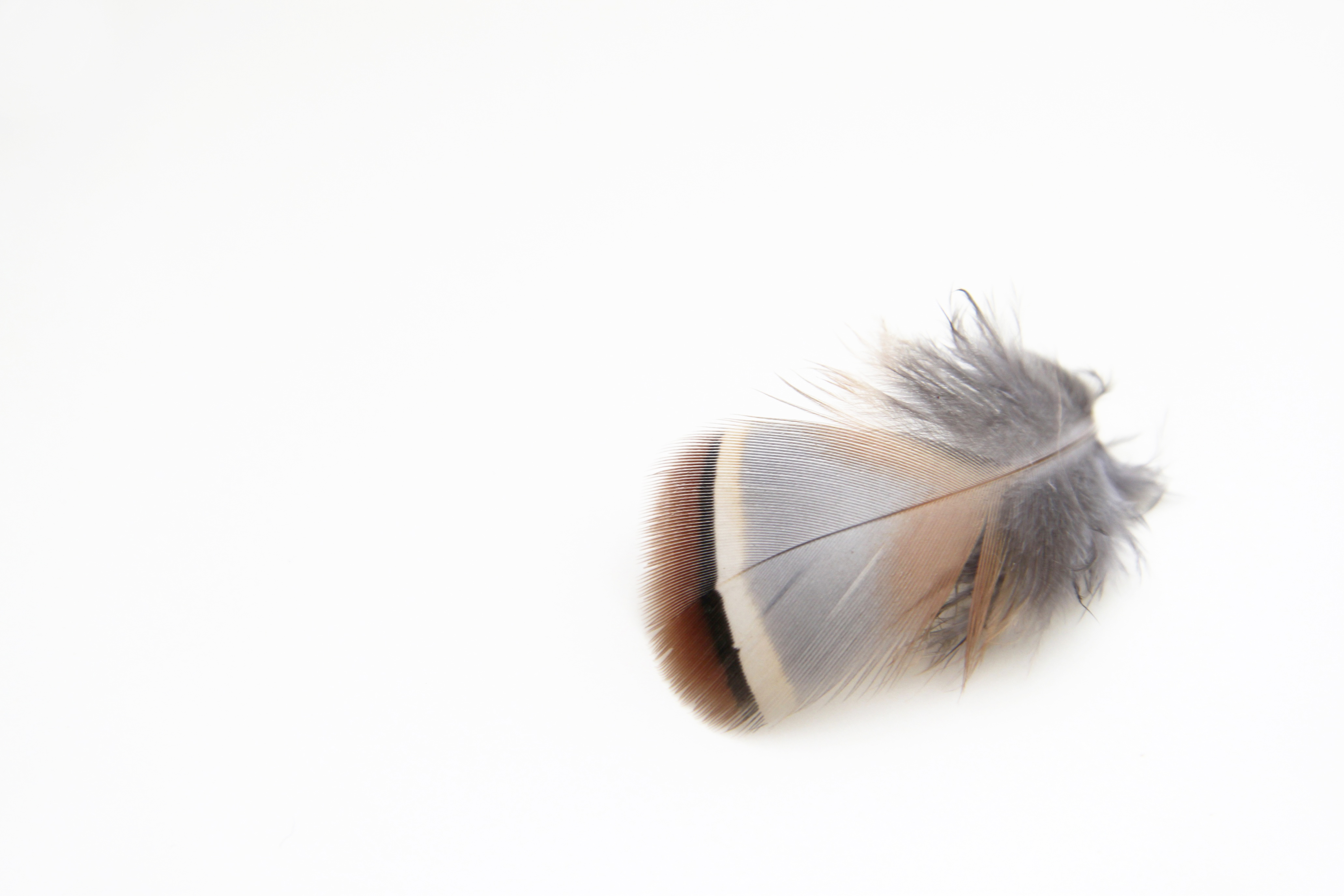 red partridge feather