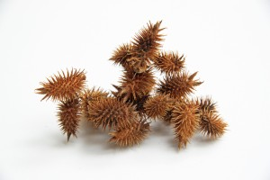 cockleburrs