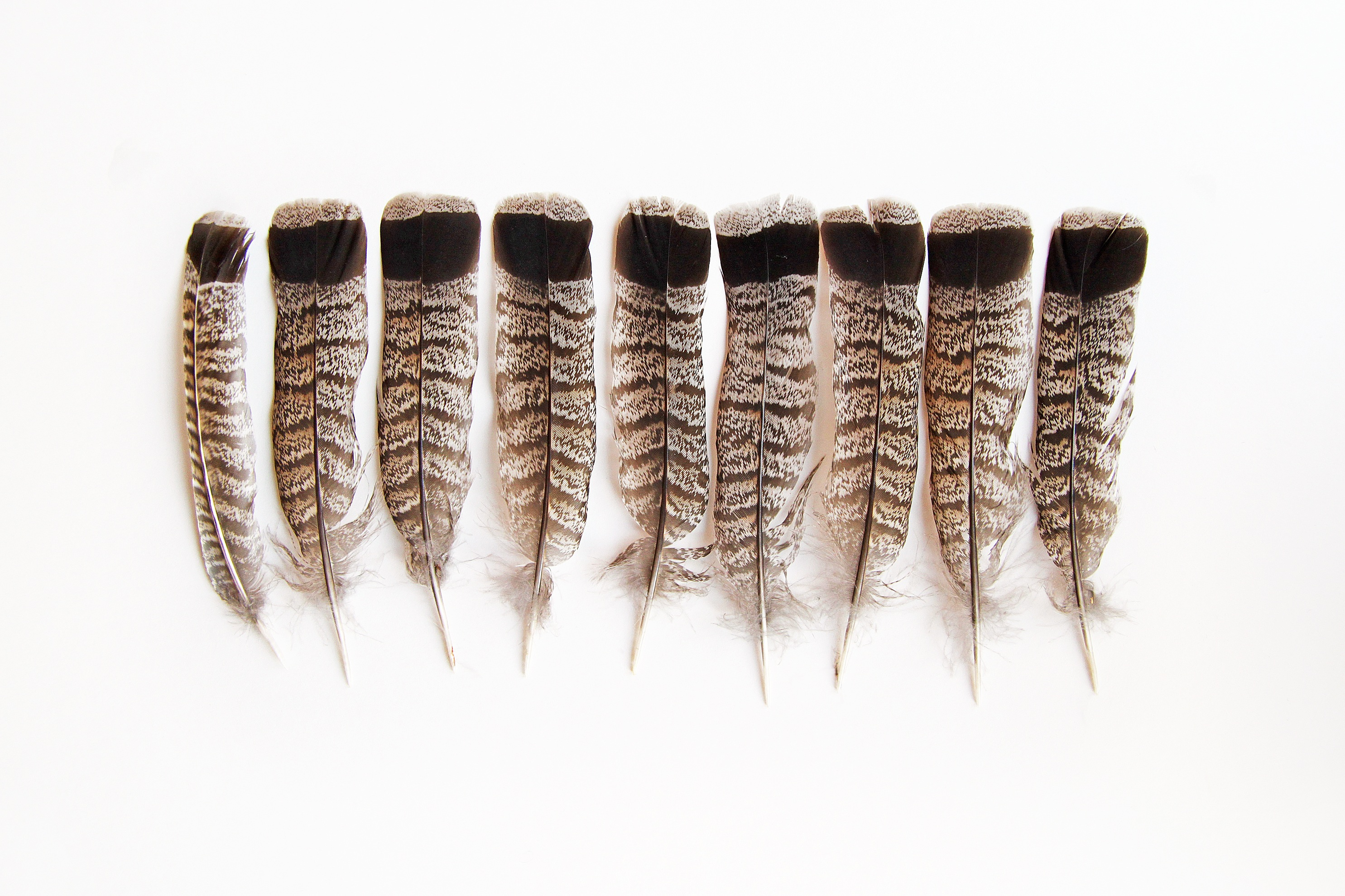 ruffed grouse tail feathers