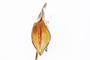 milkweed pod in winter