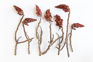 staghorn sumac in february