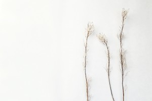 hoary alyssum seed pods