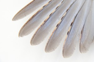 primary wing feathers of a ruffed grouse
