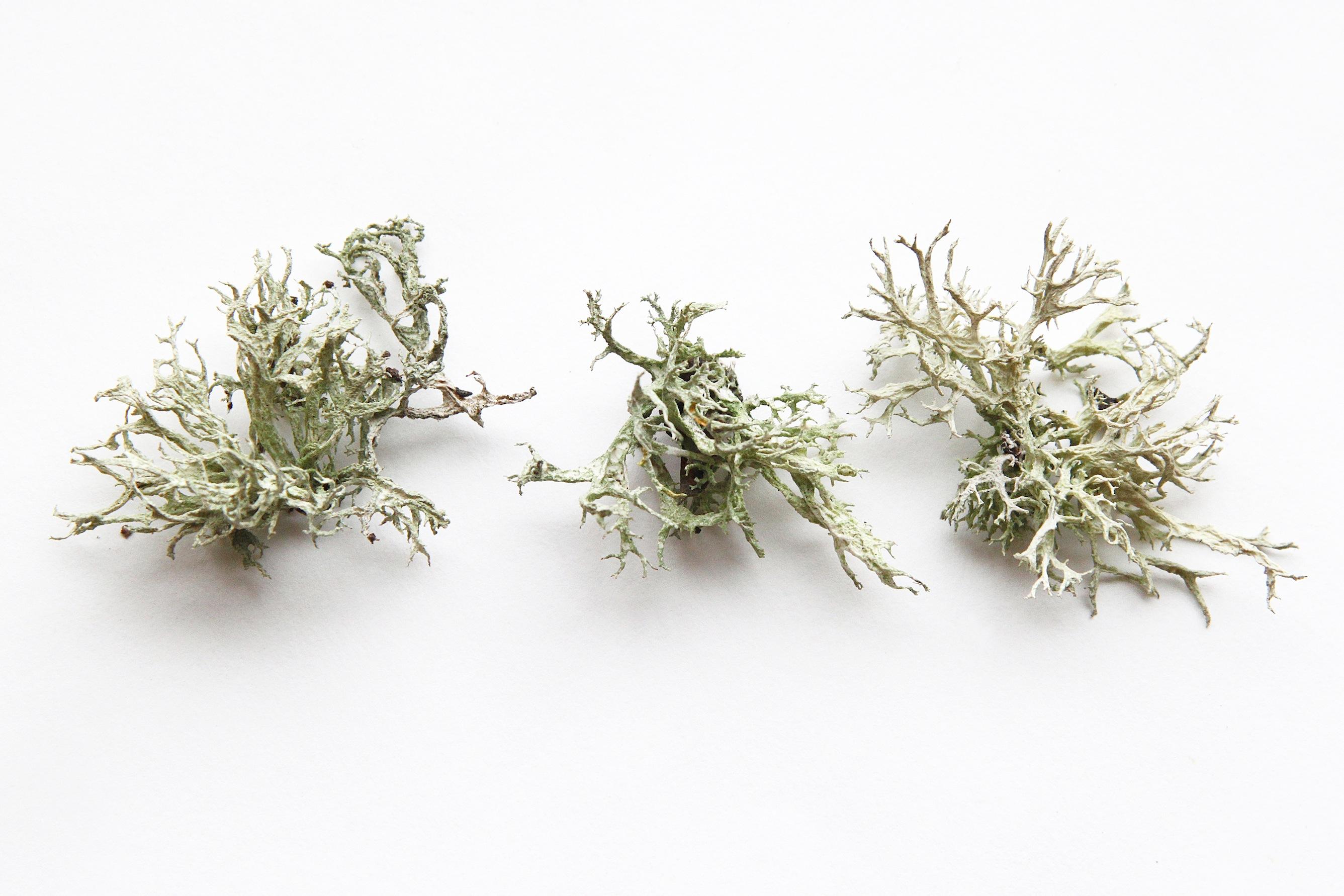 reindeer lichen
