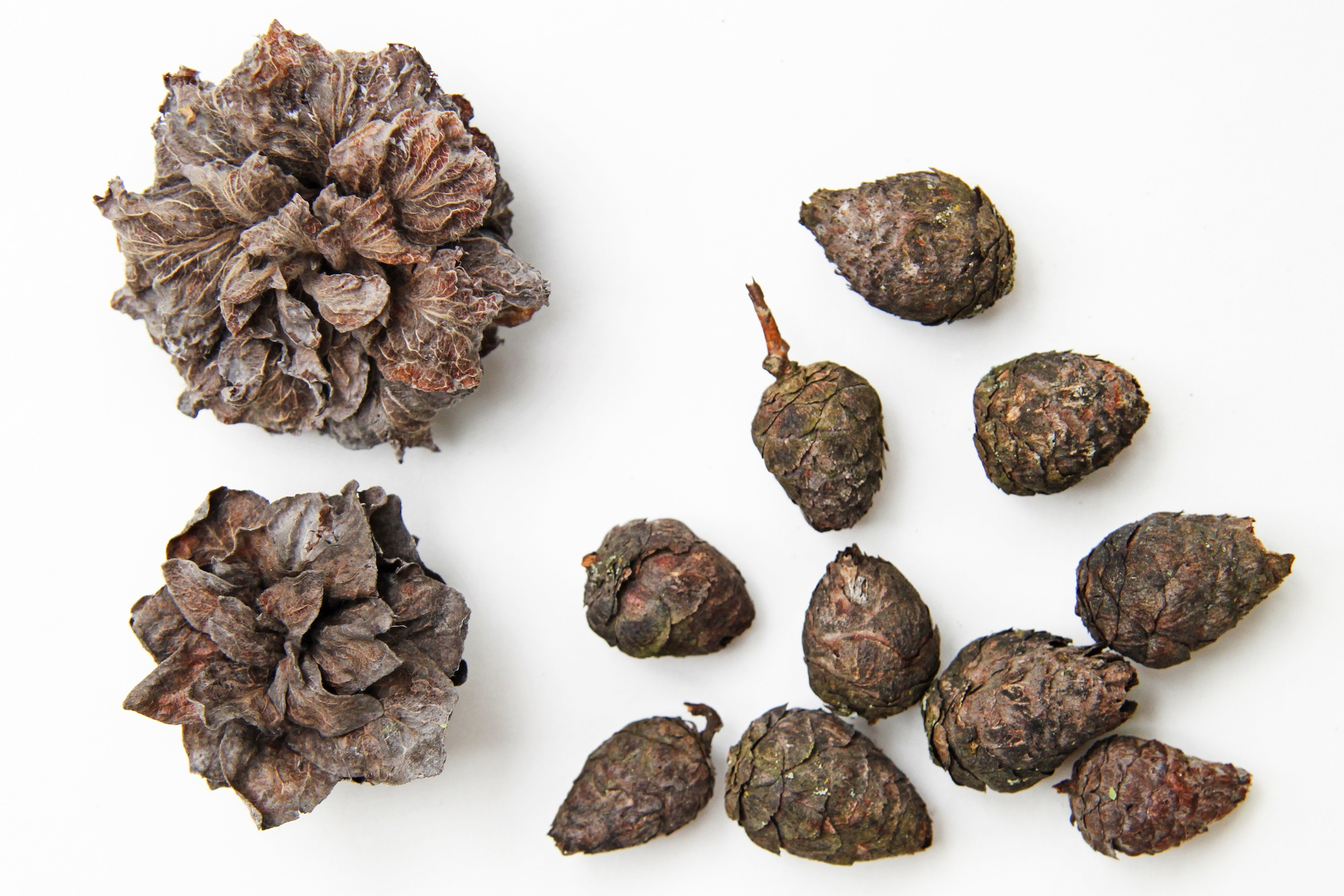 willow galls
