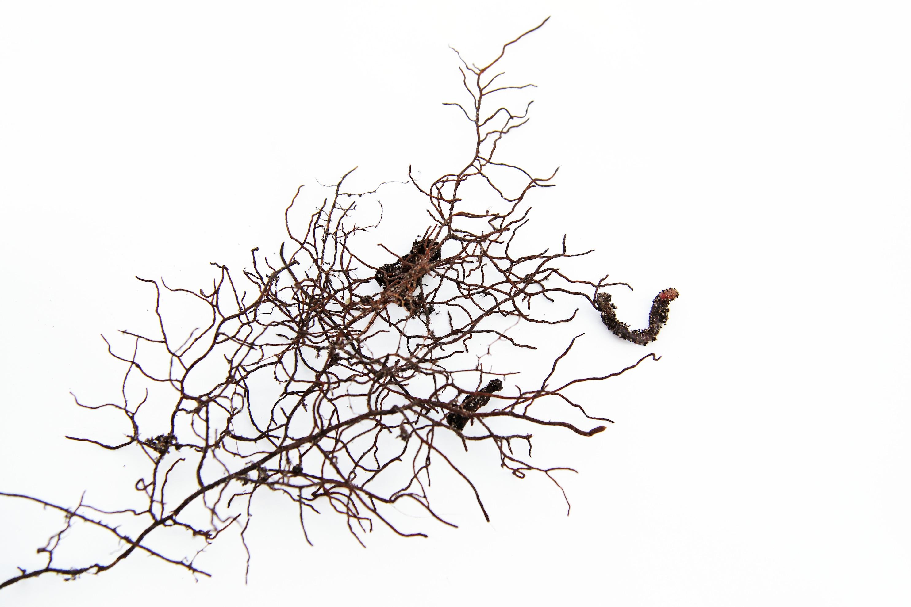 fiddlehead fern roots
