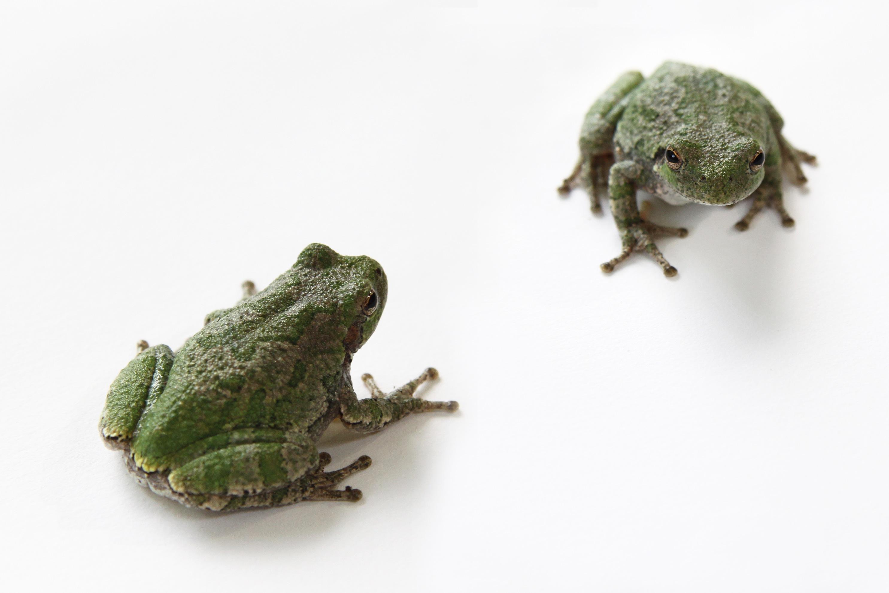 gray tree frogs