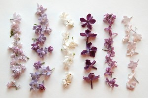 lilac variations