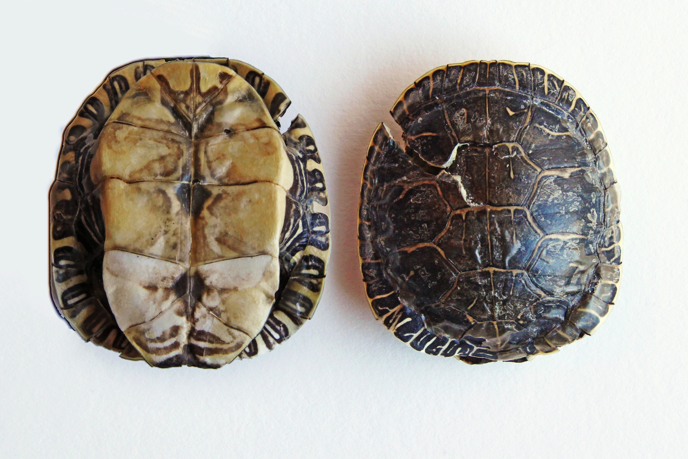western painted turtle shell