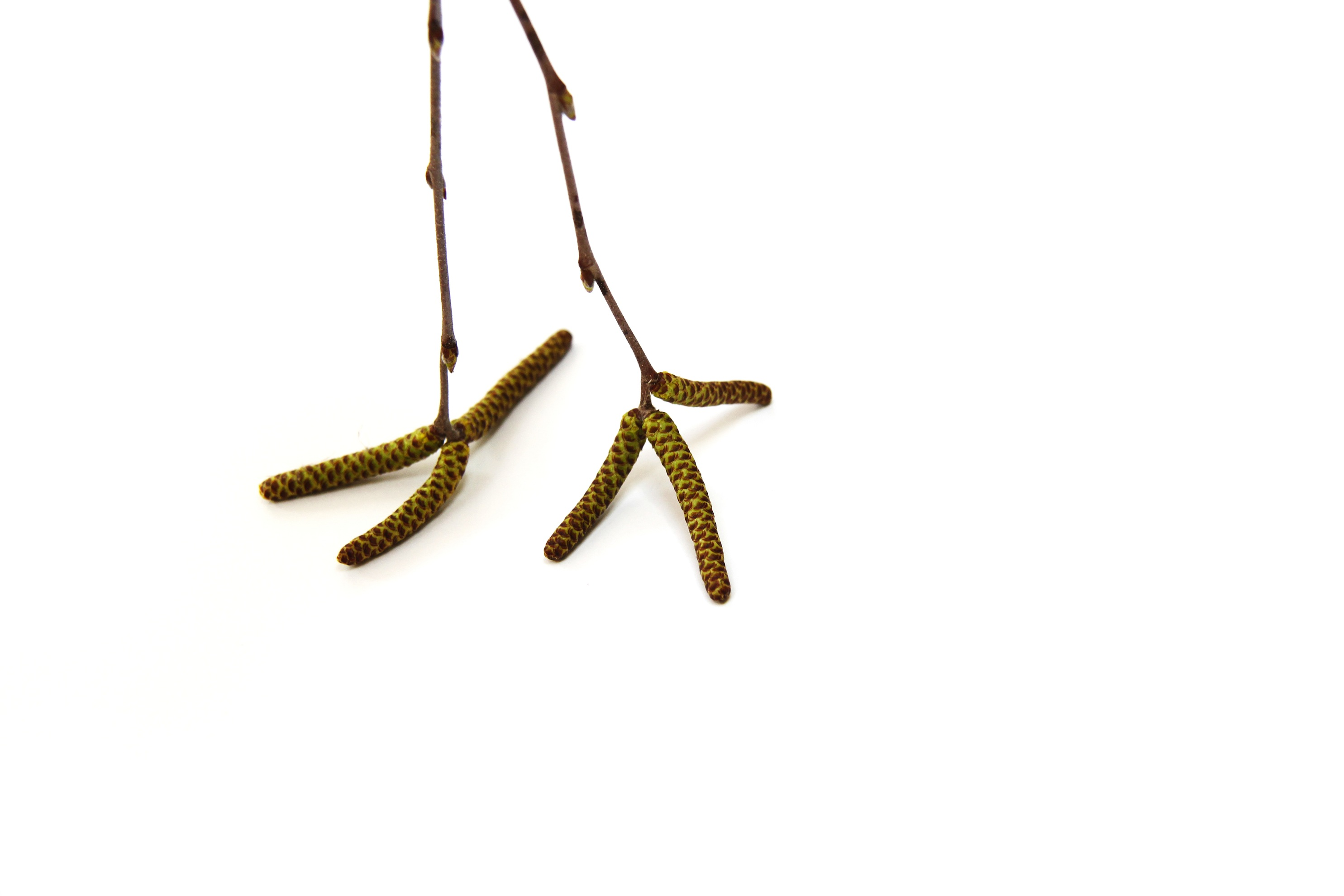 river birch catkins