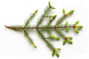 white spruce growth