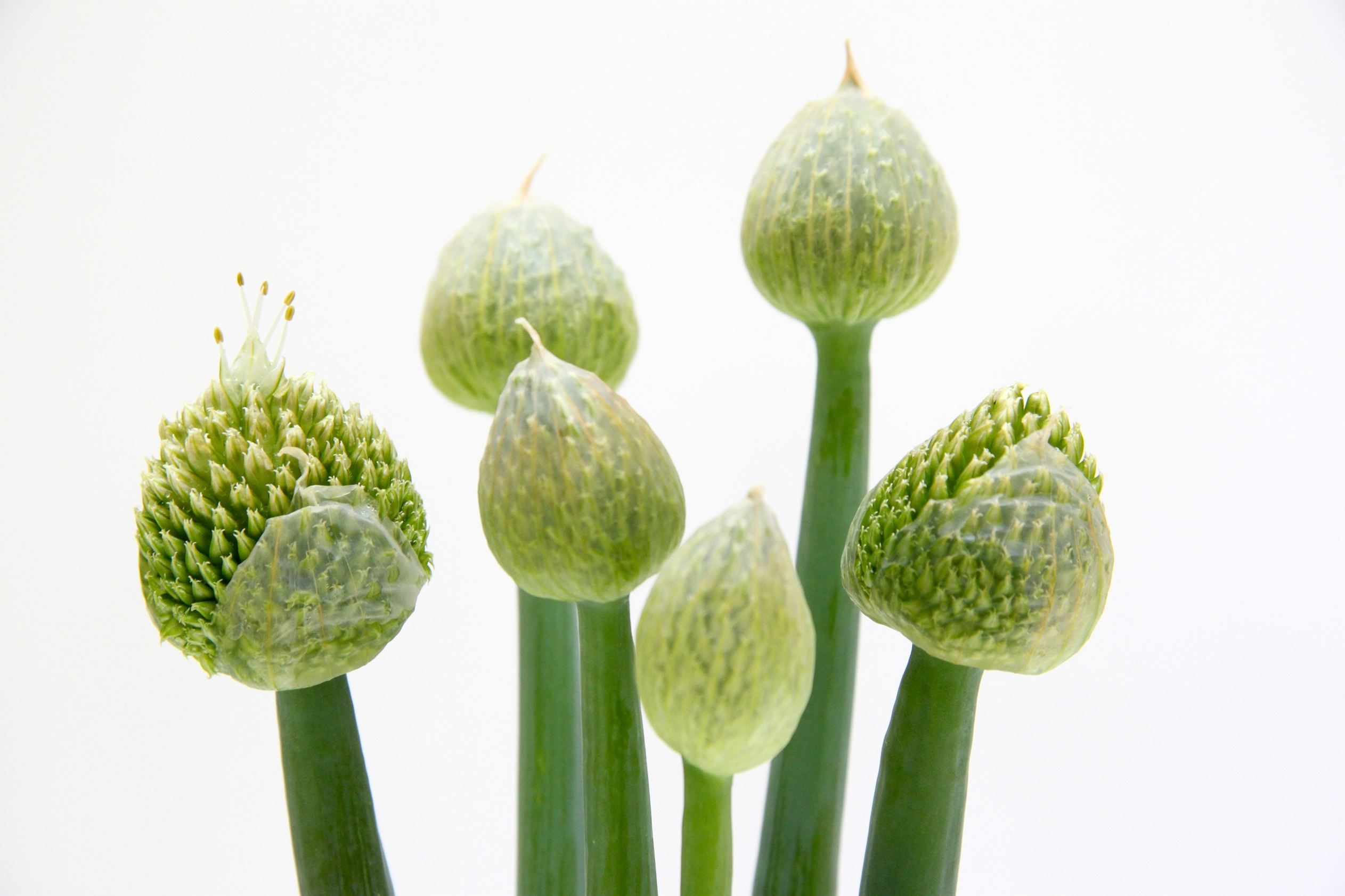 may allium