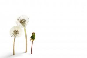 a trio of dandelions