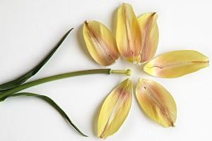 last yellow tulip