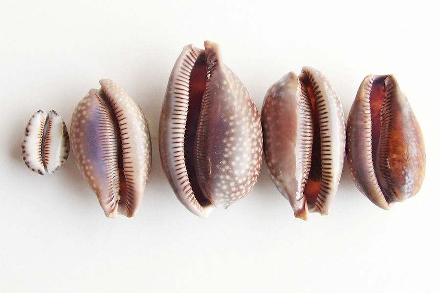 collection of cowry shells