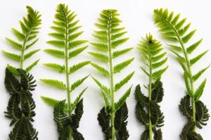 adolescent ferns