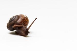 land snail