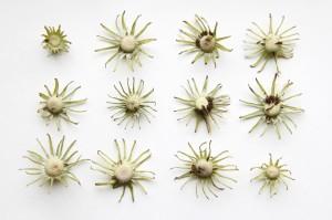 spent dandelions