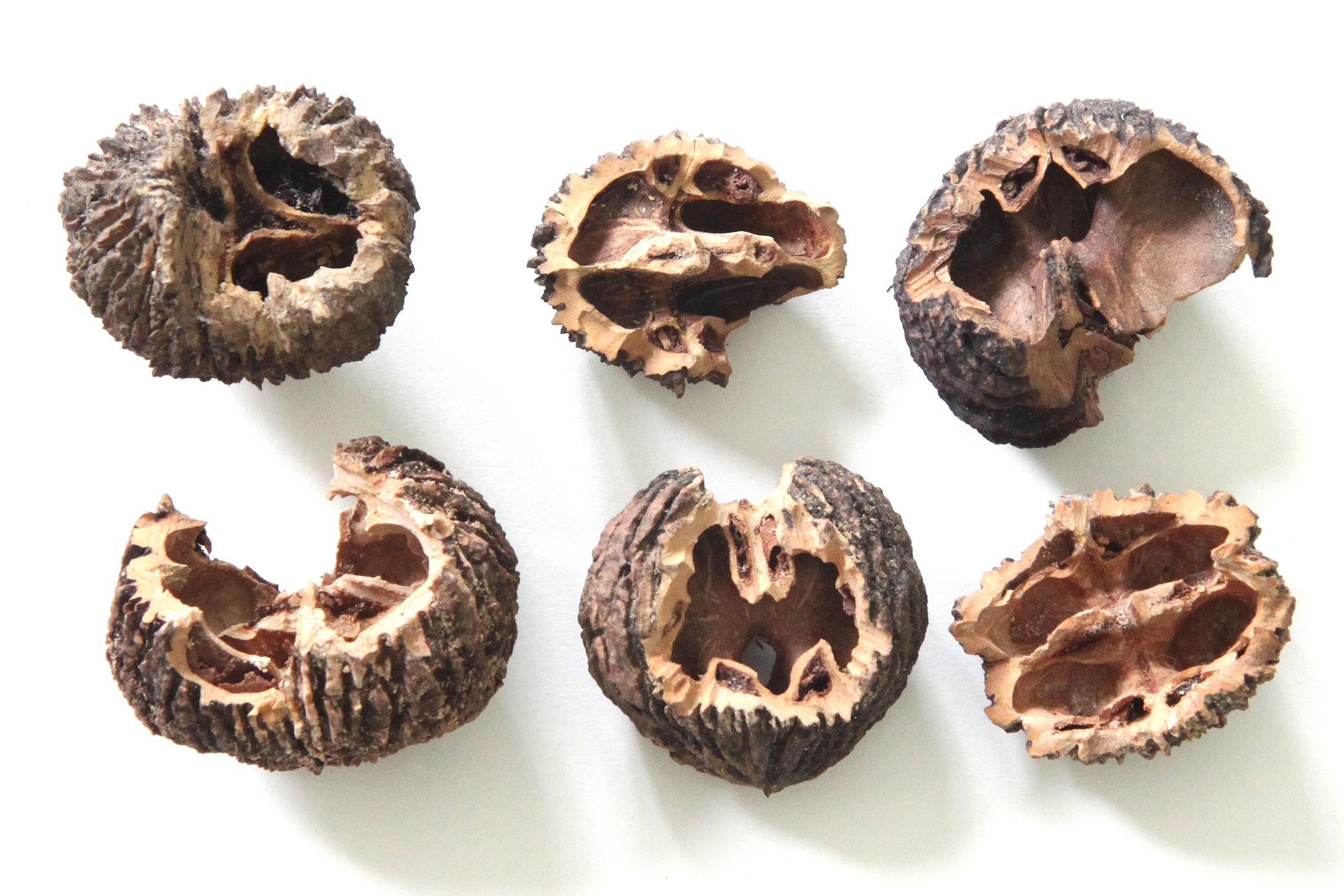 squirrel gnawed black walnut shells