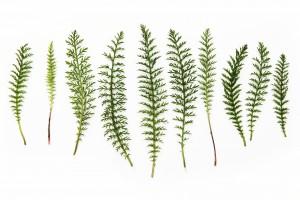 wild yarrow leaves
