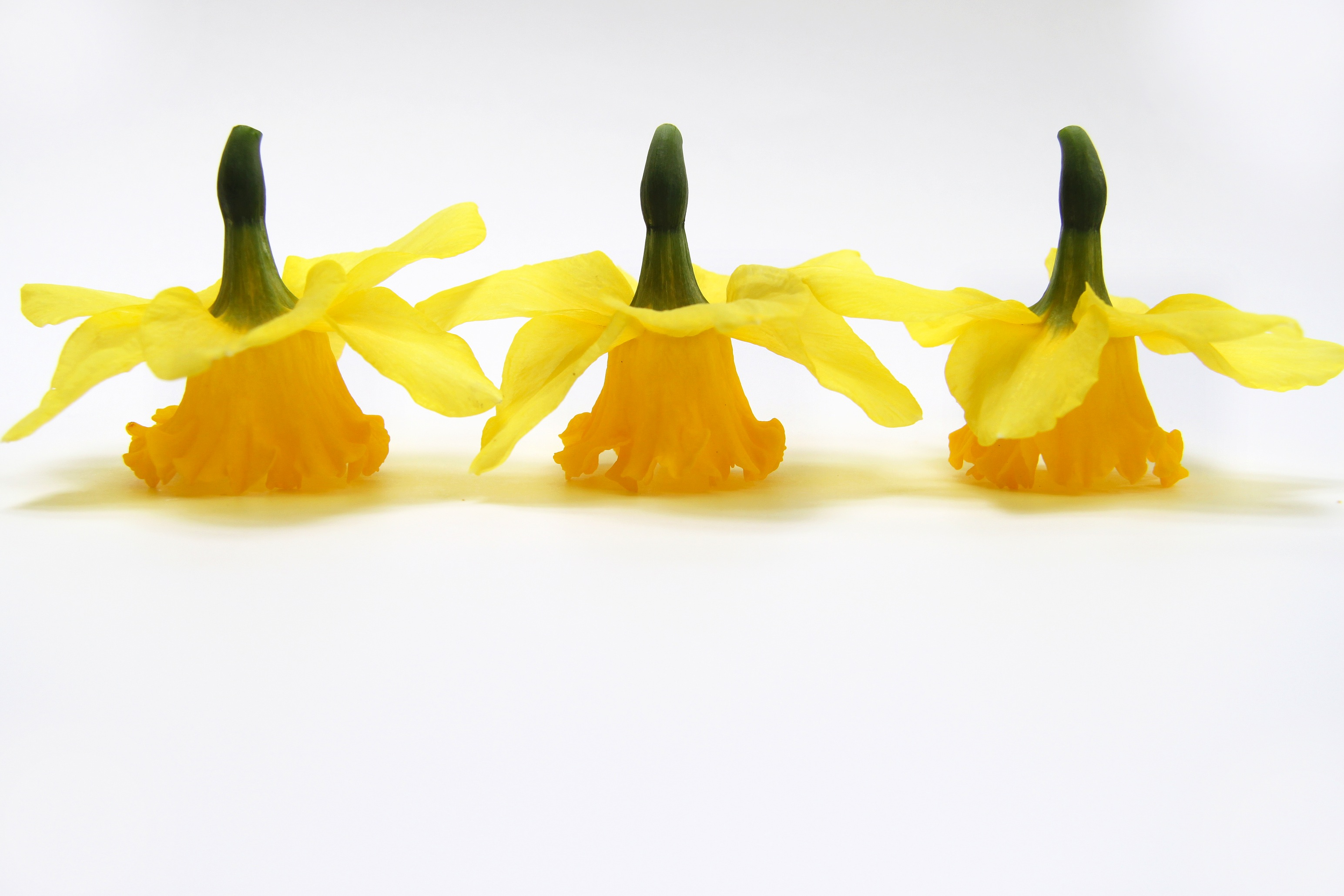 three yellow daffodils