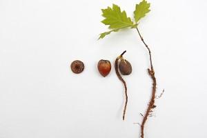 acorn to oak