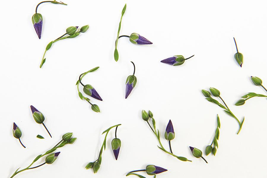 blue flax buds