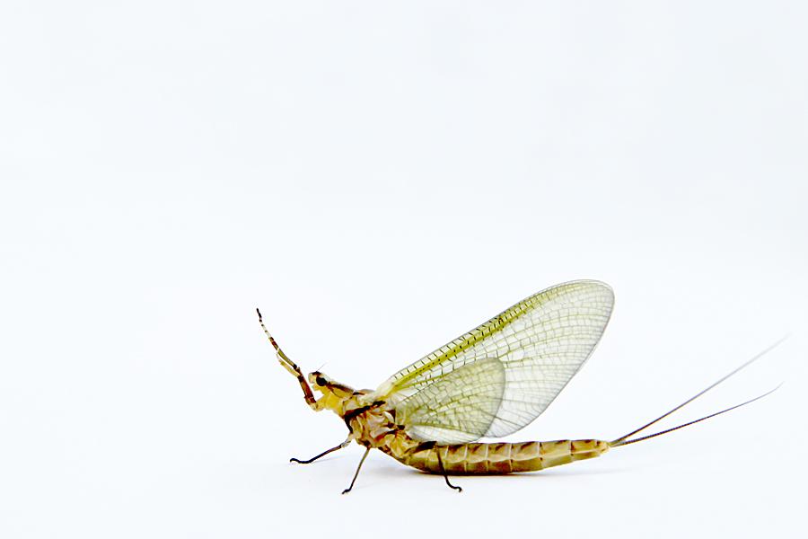 one-day fly (aka mayfly)