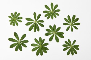 wild lupine leaves