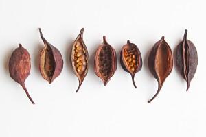 bottletree seed pods