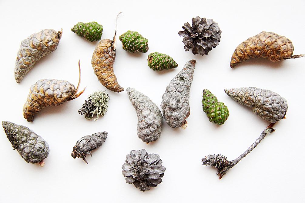 jack pine cones