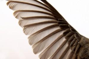 junco wing