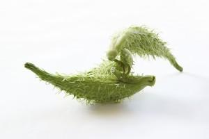 milkweed pods in july