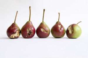 wasp-eaten pears