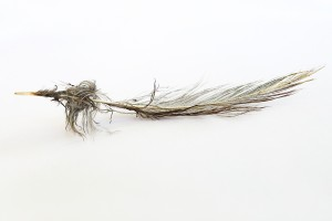 bedraggled feather