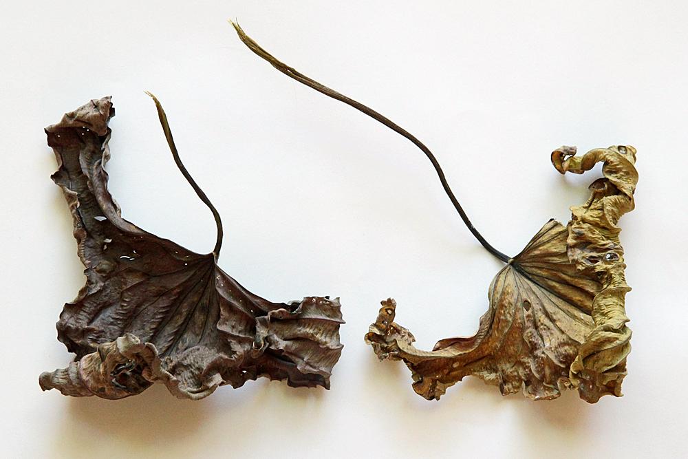 arumleaf arrowhead leaves