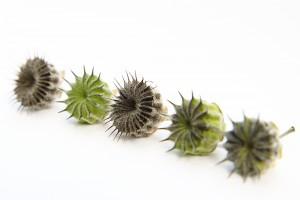 velvetleaf seed pods