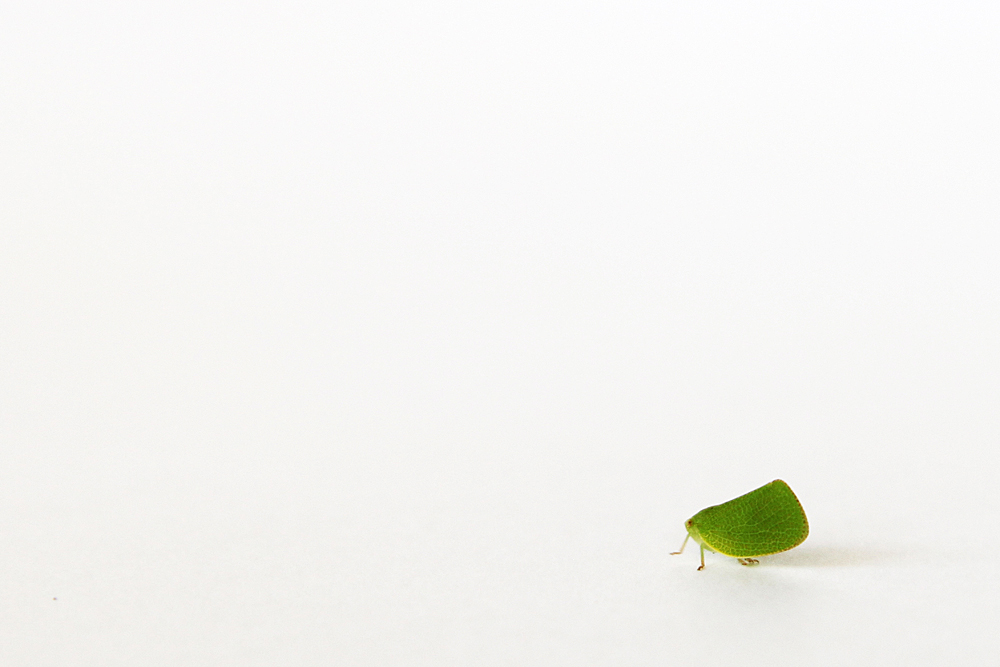 planthopper bug