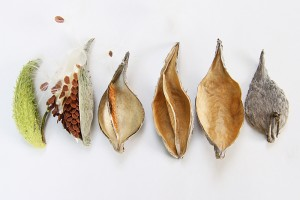 a collection of milkweed pods