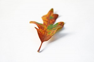 oak leaf in transition