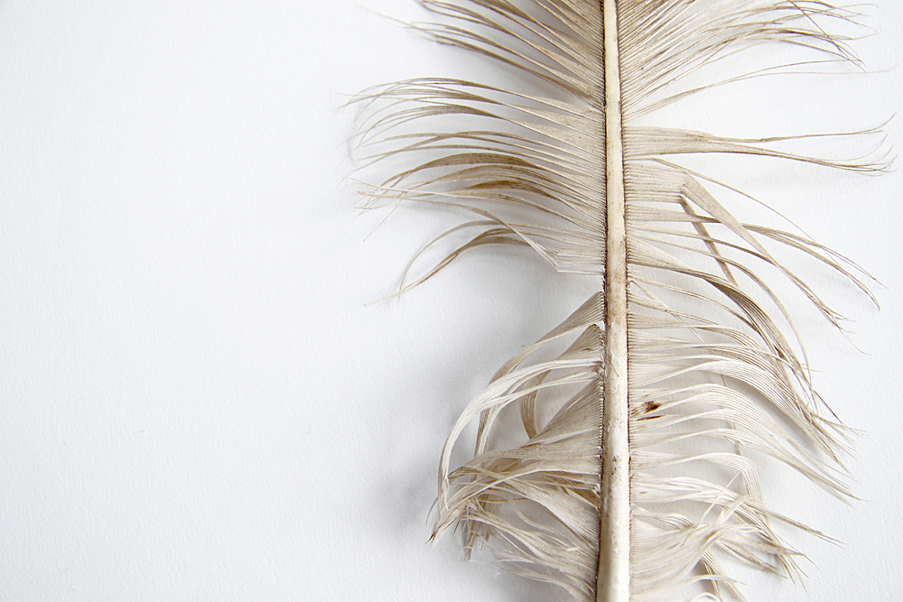 bald eagle tail feather
