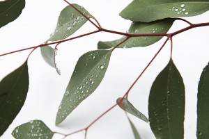 morning dew on eucalyptus