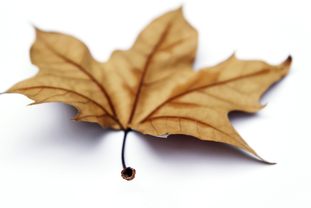 this is not a maple leaf