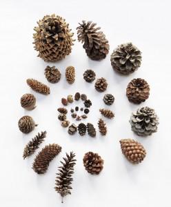 pine cone galaxy