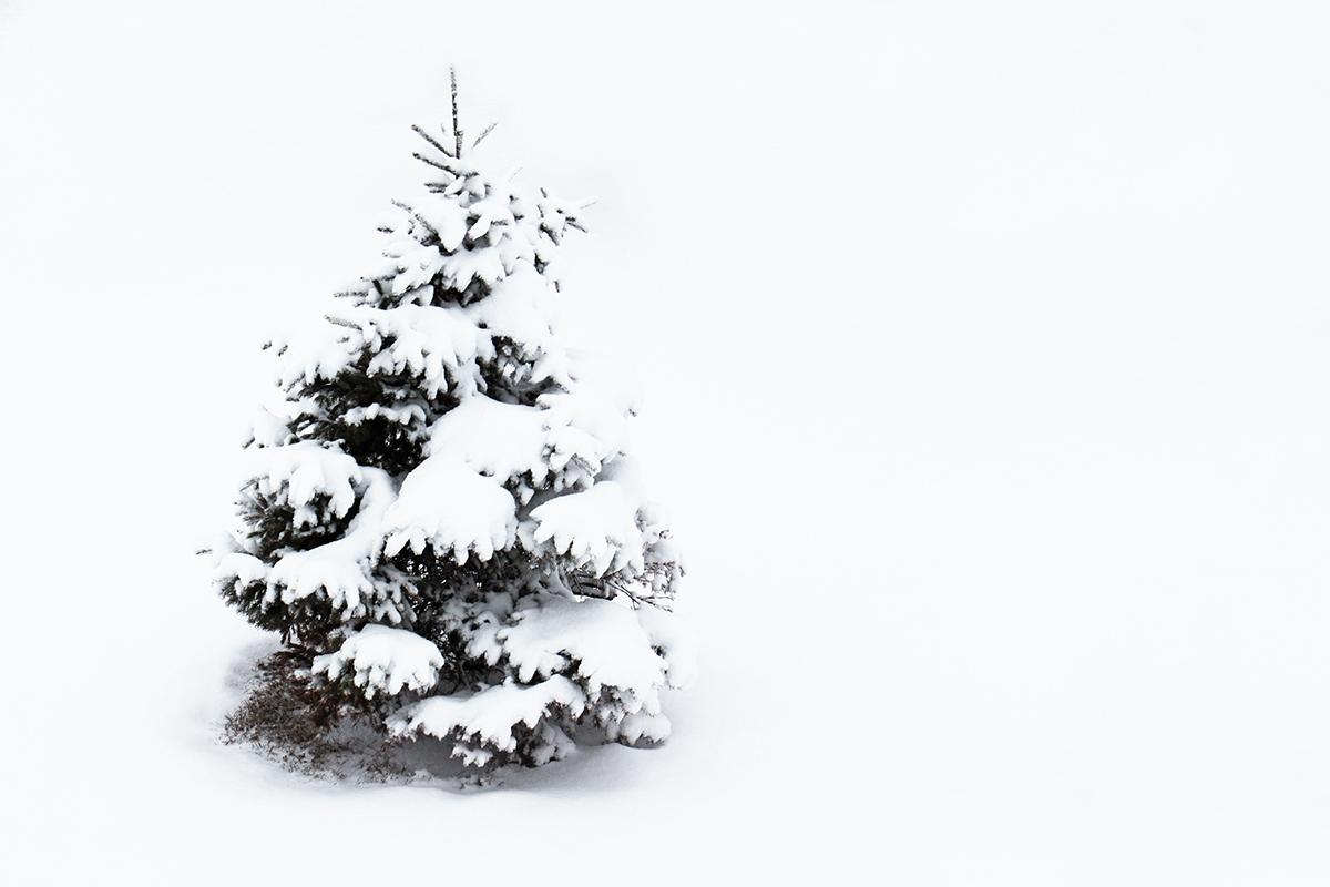 sugared spruce