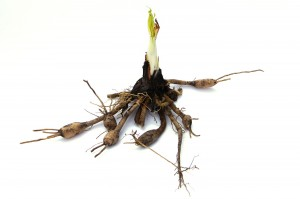 roots, rhizomes, and tubers